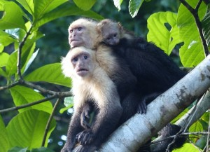 Costa Rica capuchin monkeys Montezuma
