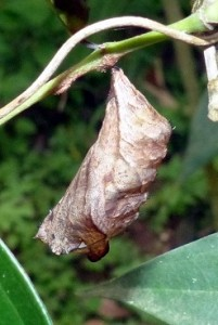 owl pupa cropped & resized
