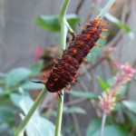 One example of a caterpillar you could see in the butterfly garden!