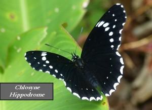 Chlosyne Hippodrome