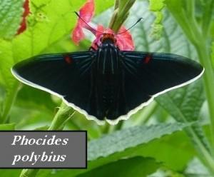 Phocides polybius