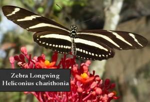 zebra long wing