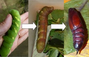 banded hawk moth resized